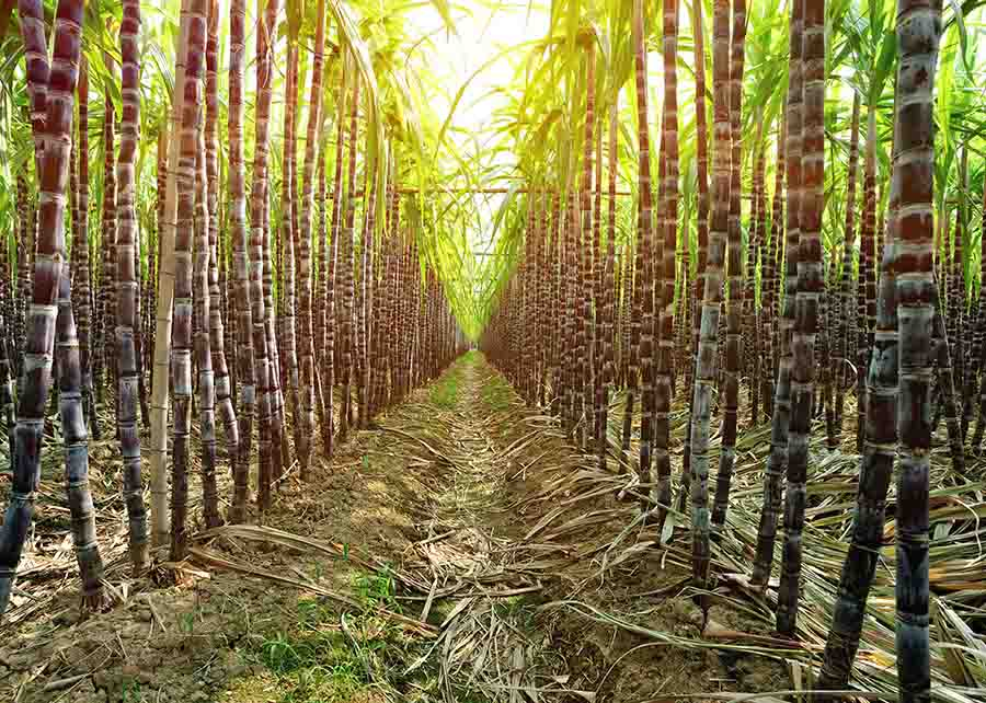 black sugarcane black plantation grow in field