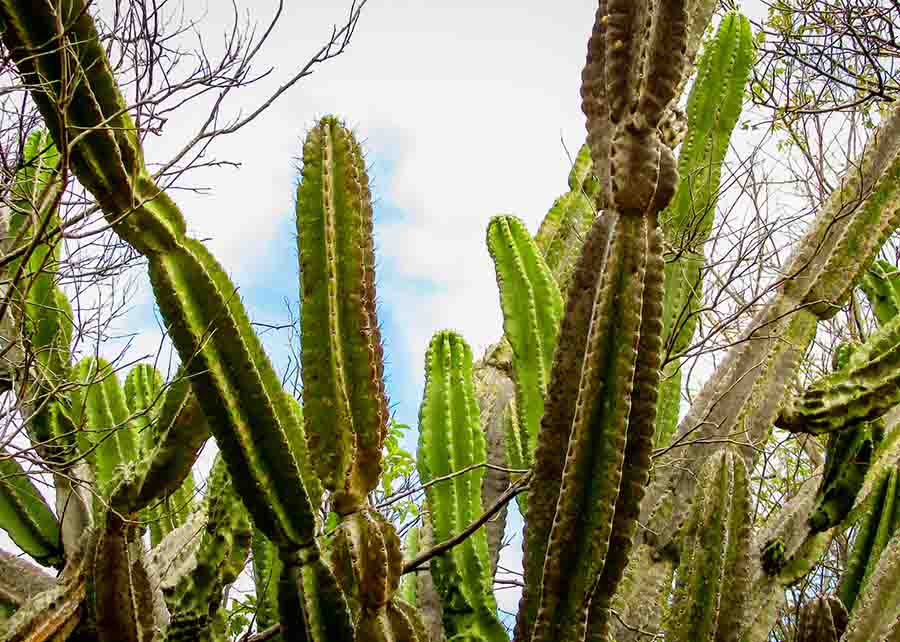 traditionally Brazilian cacti, mandacaru, common cacti of the caatinga biome, and serves as food for people and animals, and ornamentation and besides producing flowers and fruits