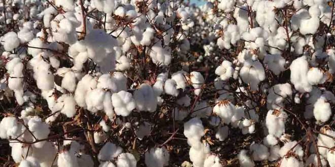 Novo algodoeiro apresenta alta produtividade e resistência às principais doenças da cultura