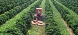 Braquiária nas entrelinhas do cafezal traz ganhos ao produtor e ao meio ambiente