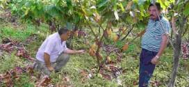 Parceria entre Embrapa e Ceplac propõe fortalecer a produção de cacau no Brasil