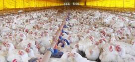 República de Camarões abre mercados para genética produzida pela avicultura brasileira