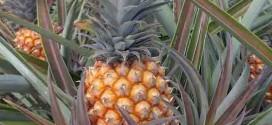 Abacaxi em sistema orgânico registra produtividade superior ao convencional
