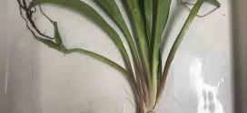 Pesquisadores encontram compostos com atividade anti-inflamatória em planta da caatinga
