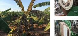 Manejo do solo influencia intensidade da fusariose em banana