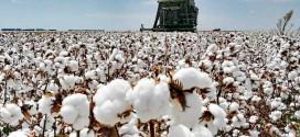 Alta produtividade e qualidade de fibra marcam a safra 2020/2021 do algodão da Bahia