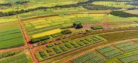 Consórcio com o milho aumenta a produção sustentável de cana-de-açúcar no Cerrado