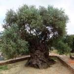 Oliveira de Vouves, na ilha de Creta, Grécia. Estima-se que tenha pelo menos 3.000 anos. As oliveiras suportam bem com os períodos tórridos, inundações e doenças; por esta razão têm vida longa. Foto: Reprodução /Internet.